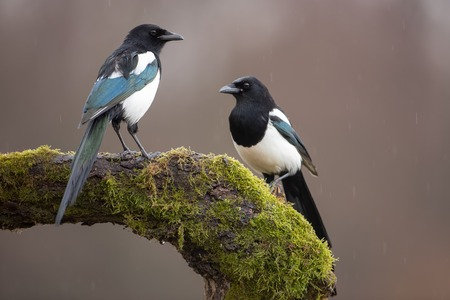 Two Eurasian Magpies, Pica Pica, on moss covered branch in winter. Pair of black and white birds in winter.