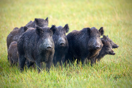 A herd of wild boars, sus scrofa, on a meadow wet from dew. Wild animals in nature early in the morning with moisture covered grass. Mammals in wilderness. Stockfoto
