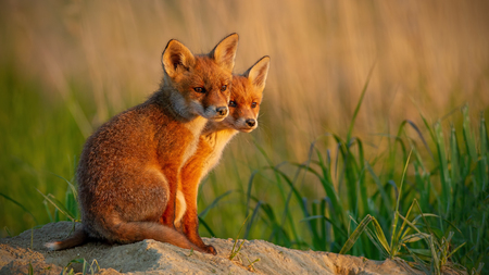 Red fox, vulpes vulpes, little cubs near den sitting close together. Cute little wild predators in natural environment. Animal family in nature with space for copy.