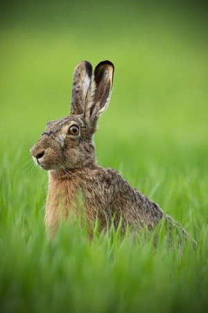 Portrait of brown hare with clear blurred green background. Wild rabbit in grass.