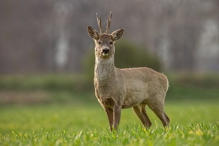 Roe deer, capreolus capreolus, buck on a spring sunny day. Morning wildlife scenery from nature. Alerted wild deer with blurred background.