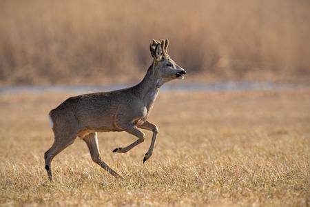 Running roe deer, capreolus capreolus in winter. Roebuck jumping midair. Action wildlife scenery.