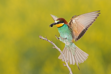 European bee-eater, merops apiaster, landing on a twig with bee in beak. Colorful bird flying with caught insect. Wildlife scenery with blurred yellow background Reklamní fotografie