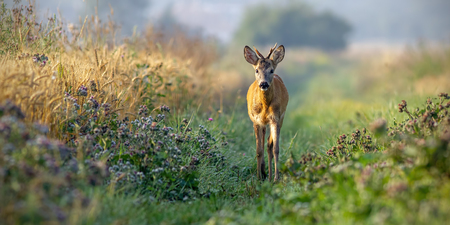 Roe deer, capreolus capreolus, buck walking along grain field in the sunny summer morning. Curious wild young roebuck approaching in nature with space for copy.