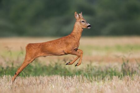 Roe deer, capreolus capreolus, buck running and jumping on a harvest field in summer. Wild animal moving fast in nature.