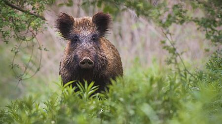 Front view of wild boar, sus scrofa, standing partially hidden in tall vegetation in spring forest. Wild animal in nature facing camera with copy space.