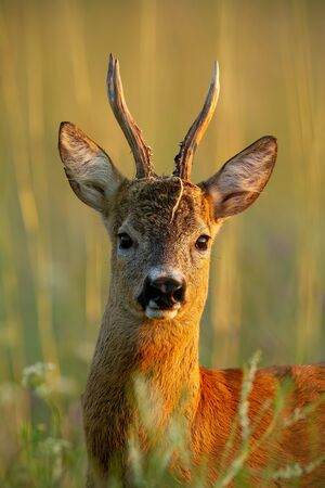 Close-up of roe deer, capreolus capreolus, buck standing in last evening sun rays in summer in tall grass. Wild roebuck with vegetation parts on antlers. 写真素材