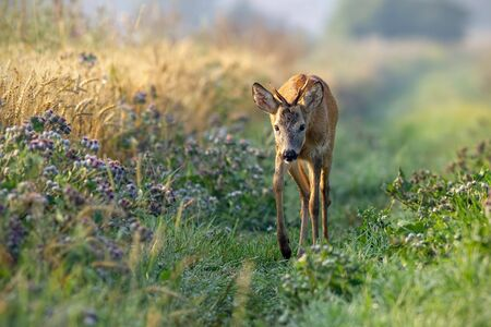 Roe deer, capreolus capreolus, buck approaching curiously along grain field in the sunny summer morning. Young roebuck by agricultural field. Stok Fotoğraf