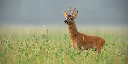 Roe deer, capreolus capreolus, buck standing in tall grass looking away in summer with space for text. Male deer animal in the wild.