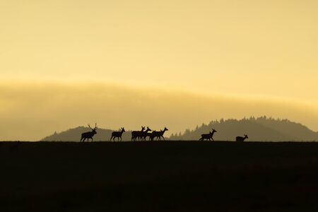 Herd of red deer, cervus elaphus, with does and stag walking at the end at sunset on a horizon. Dark silhouettes of wild animals in nature with colorful landscape in the background with copy space.
