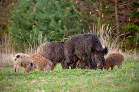 Wild boar, sus scrofa, herd with mother wild sow and young stripped piglets grazing on a green meadow in spring. Group of wild animals feeding in nature. Stock Photo