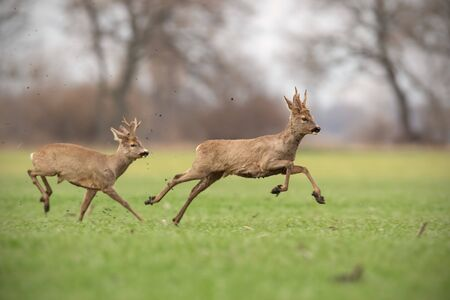 Two wild roe deer, capreolus capreolus, bucks chasing each other in spring nature. Dominant male protecting territory and expelling its rival away. Dynamic wildlife scenery of two animals.