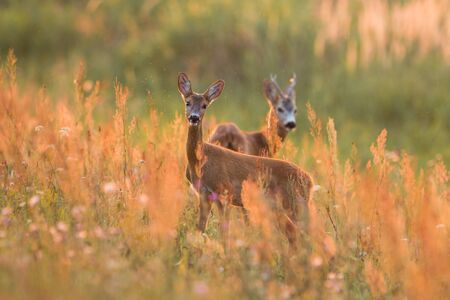 Mammal Roe deer , capreolus capreolus, couple standing in the meadow from side view in rutting season. Male and female wild animal pair looking and waiting with blurred background with copyspace.