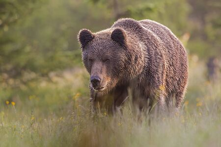 Dominant mammal male brown bear, Ursus arctos, standing on the meadow in the summer with blurred background. Frown wild animal gazing in front himself from low angle view with selective focus. Banco de Imagens