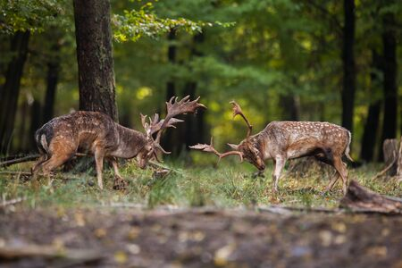 Two aggressive male mammal fallow deer, dama dama, fighting against each other in the summer with copyspace. Pair of angry stag in duel in forest from side view with blurred background.