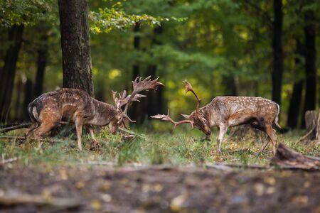 Zwei aggressive männliche Säugetier Damwild, Dama Dama, die im Sommer mit Exemplar gegeneinander kämpfen. Paar wütender Hirsch im Duell im Wald aus der Seitenansicht mit unscharfem Hintergrund.