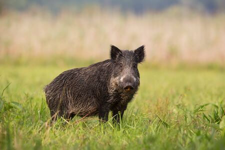 Mammal wild boar, sus scrofa, standing on the grass in the summer with blurred background. Calm wild animal looking to the camera at the field from low angle view.