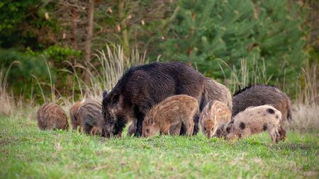 Group of wild boars, sus scrofa, with tiny stripped piglets feeding in wilderness in spring. Wild sow and young stripped piglets eating. Group of wild baby animals protected by mother. Banco de Imagens