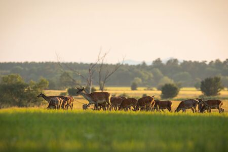 Numerous herd of red deer, cervus elaphus, hinds and calves grazing on a fresh green grass in spring at sunset. Group of many animals in nature. Peaceful atmosphere of mammals feeding in wilderness 스톡 콘텐츠