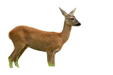 Side view of roe deer, capreolus capreolus, doe in summer standing and looking away isolated on white background. Unaware female mammal animal in nature cut out.