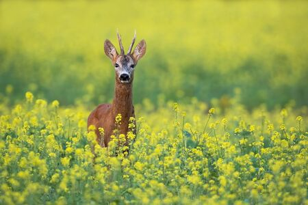Front view of roe deer, capreolus capreolus, buck standing on a flowery rape field in summer with yellow flowers and copy space. Low angle view of male deer animal in nature in agricultural country