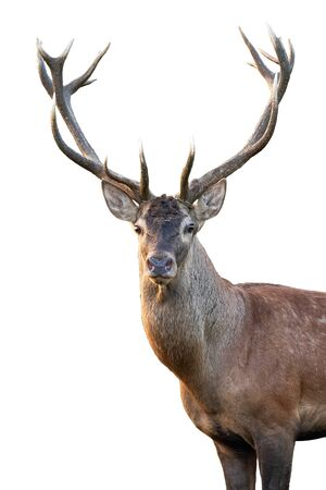 Close-up of red deer, cervus elaphus, stag head with antlers standing in summer isolated on white background. Cut out front view portrait of wild male mammal deer backlit at sunset. Stockfoto