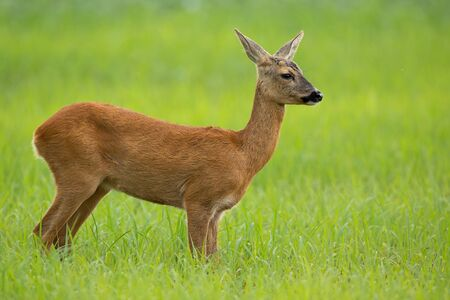 Side view of roe deer, capreolus capreolus, doe in summer standing on a meadow with green grass looking away. Unaware female animal in nature with blurred background and copy space. Imagens