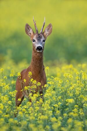 Front view of roe deer, capreolus capreolus, buck standing on blossoming rapeseed field in summer with yellow flowers. Vertical low angle view of male deer animal in agricultural country with space 写真素材
