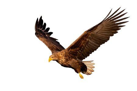 Dorosły orzeł bielik, Haliaeetus albicilla, latający ze skrzydłami rozpostartymi, patrząc w dół na białym tle. Wytnij dzikiego ptaka drapieżnego w powietrzu o zachodzie słońca.