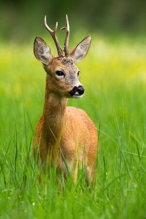 Innocent roe deer, capreolus capreolus, buck looking away standing in tall green grass with blooming yellow wildflowers in background. Vertical portrait of wild deer in fresh summer nature. Stockfoto