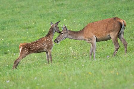 Young red deer, cervus elaphus, calf touching head of its hind mother with nose in summer. Concept of innocence of wild animal in nature with cute little youngster. Imagens