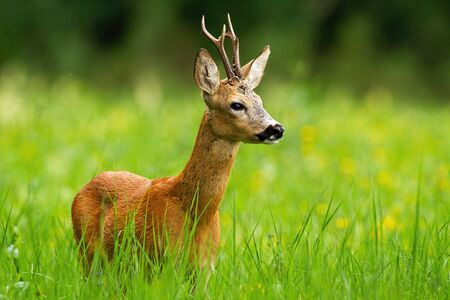 Roe deer, capreolus capreolus, buck looking away standing in tall green grass with blooming yellow wildflowers in background. Wild deer animal with antlers in fresh summer nature.
