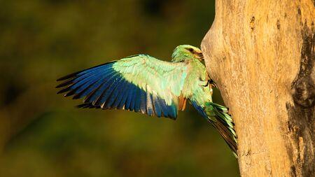European roller, Coracias garrulus, feeding chicks in nest hidden in cavity of hollow tree in summer. Wild blue bird landing with wings spread wide.