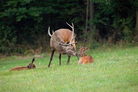 Cerf élaphe, Cervus elaphus, cerf et biche s'embrassant en pleine nature avec espace de copie. Mammifères parents avec des jeunes à proximité. Concept de proximité et de convivialité des animaux.