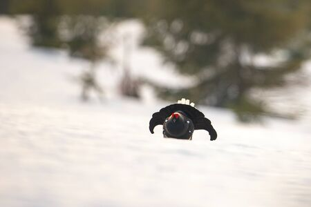 Game bird, black grouse, displaying as a part of mating ritual in wilderness with copy space. Male blackgame, tetrao tetrix, lekking on snow in springtime. Cold weather in mountains. Фото со стока