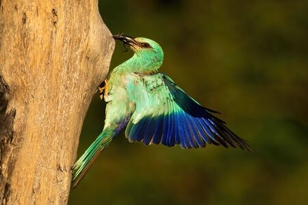 European roller, Coracias garrulus, holding frog in beak and landing on nest to feed young. Wild bird with blue colored feathers in nature in summer.