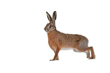 Europäischer Feldhase Lepus Europaeus isoliert auf weißem Hintergrund beiseite schauen. Ein wildes Tier aus der Natur.