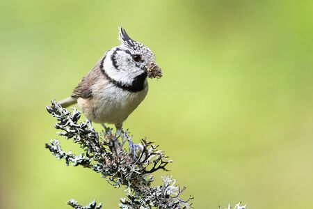 European crested tit, lophophanes cristatus, sitting on a lichen covered twig in summer. Tiny songbird perched with blurred green background in nature.