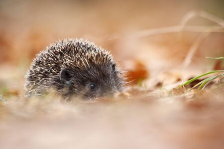 European hedgehog, erinaceus europaeus, with protective prickles hiding in leafs in autumn forest. Wild nocturnal mammal with snout in wilderness