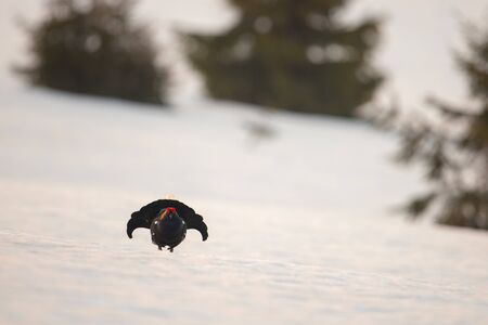 Black grouse, tetrao tetrix, cock lekking on snow covered meadow early in the morning with spruce trees in the background. Nature scenery with endangered species.