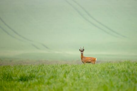 Wild deer in agricultural country walking on a green field in summer with space for text. Roe deer, capreolus capreolus, in green grass. 免版税图像 - 131324844