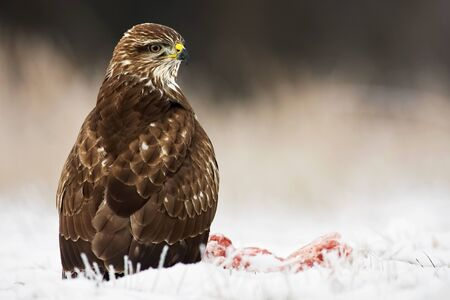Common buzzard, buteo buteo, seated on the ground covered with snow in wintertime looking around. Predator with yellow beak listening attentively on a plain from low perspective with copy space. Reklamní fotografie