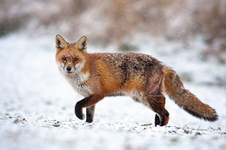 Bruised red fox, vulpes vulpes, pursuing prey on a hunt in icy environment. Wild mammal predator marching in freezing weather. Free animal in wilderness. Archivio Fotografico