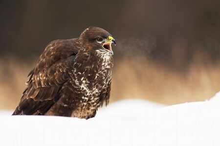 Wild common buzzard, buteo buteo, screeching with beak wide open while sitting on snow in wintertime. Fierce bird predator calling in wilderness. Animal in freezing nature.