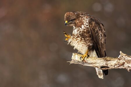 Wild common buzzard, buteo buteo, scratching and cleaning feathers while sitting on a bough in winter nature. Animal hygiene in nature. Reklamní fotografie