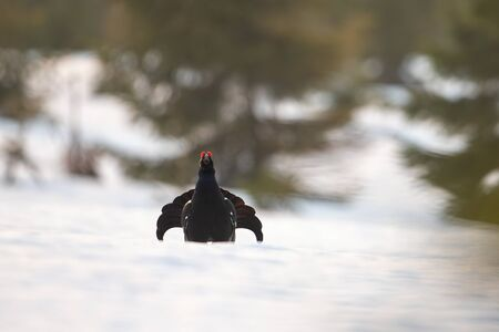 Front view of male black grouse, tetrao tetrix,cock lekking on snow early in the morning in spring. Wild bird strutting between spruces on ice.