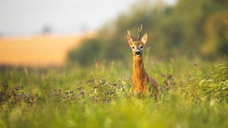 Roe deer, capreolus capreolus, buck standing proudly with head up on a meadow with wildflowers at sunrise. Wild animal with fur wet from dew facing camera in summer with copy space.