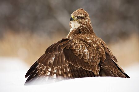 Fierce common buzzard, buteo buteo, protecting the prey with wings spread wide in polar nature. Wild bird predator sitting on cold snow in wintertime. Animal wildlife in winter.