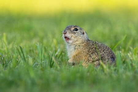 European ground squirrel, spermophilus citellus, whistling and watching alerted on a green meadow. Little mammal calling with mouth open.