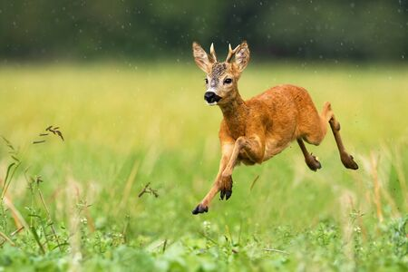 A cute roe deer, capreolus capreolus, hopping on the grass covered with the summer sprinkle of rain. A dynamic young ruminant running to the left side of the camera. Fast wild animal sprinting.